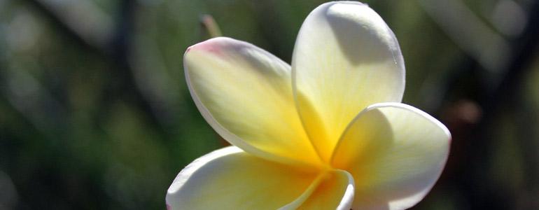Die Tiarè Pflanze